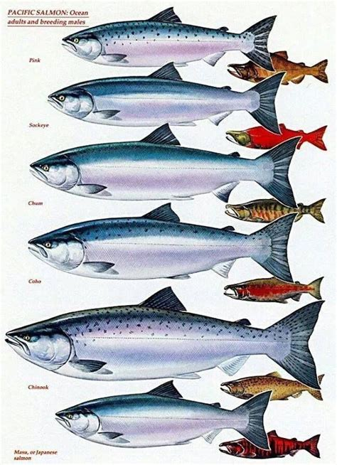 pacific salmon chart adults  breeding males