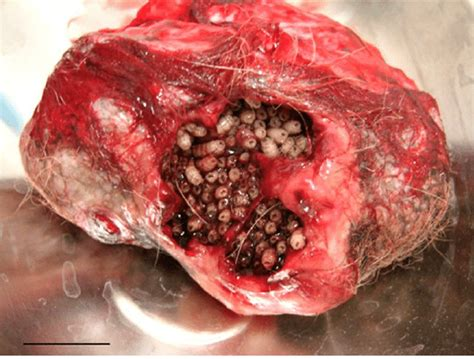 severe myiasis  epidermoid cyst   dog caused