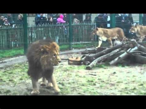 blackpool zoo tigers lions youtube