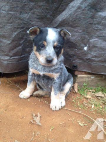 blue heeler puppies  sale  conroe texas classified