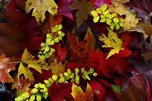 Predicting, Fall, Color, And, Autumn, Leaf, Display