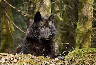 Wolf Wolves Archipelago Alexander Alaska Islands Canis