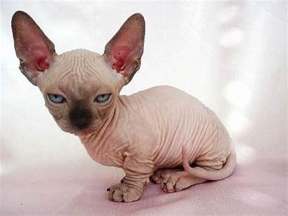 Cat Sphynx Cats Kittens Hairless Kitten Info