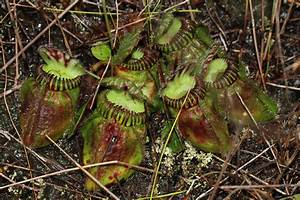 How carnivorous plants have evolved to become 'meat-eaters'