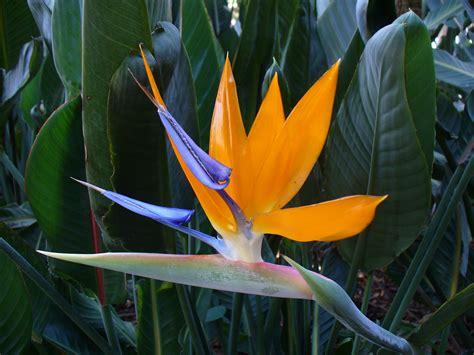 plant pots for sale strelitzia reginae