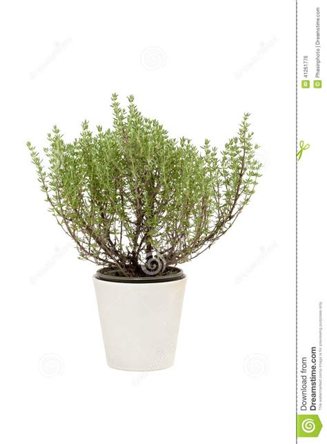 thym dans le pot photo stock image 41261776