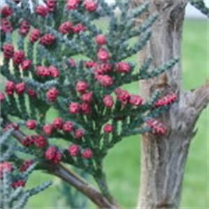 Glanzmispel Braune Flecken : rote punkte an thuja pflanze bl ten oder krankheit ~ Lizthompson.info Haus und Dekorationen