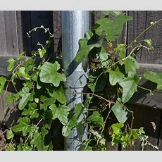 Invasive Vine  Ask An Expert