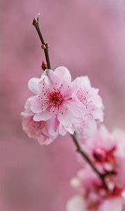 Beautiful Light Pink Flower Wallpaper – Mobile Wallpapers