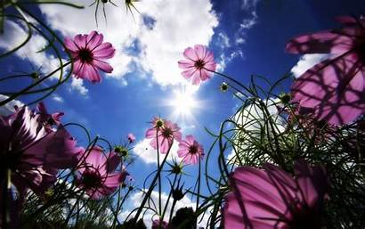 Flower Flowers Eye Cosmos Worms Sun Wallpapers