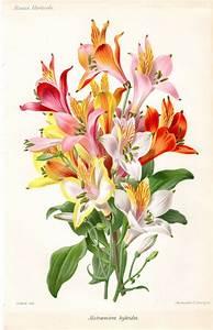 1883 Antique Botanical Print French Peruvian Lily ALSTROEMERIA