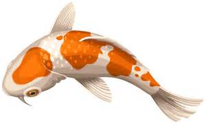 quality photo albums white and orange koi fish transparent clip png image