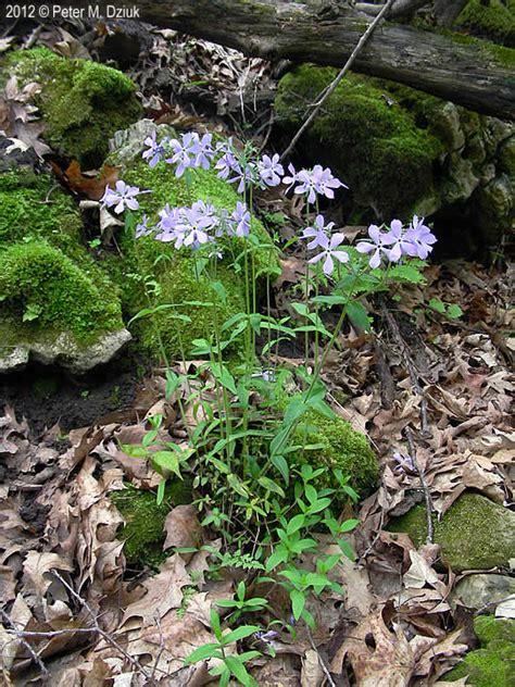 phlox divaricata wild blue phlox minnesota wildflowers