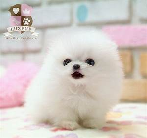 Teacup White Pomeranian | Teacup pomeranian, Teacup and ...