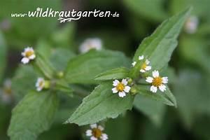 Unkraut Weiße Blüte : das knopfkraut ein unechter franzose mit gutem geschmack ~ Lizthompson.info Haus und Dekorationen