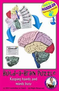 Human Brain  Build