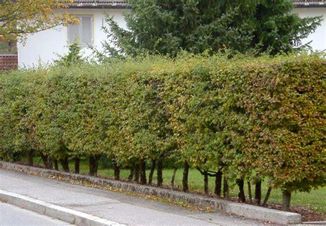 wann pflanzt obstbäume hainbuche wann pflanzen kirschlorbeer wann pflanzen wann