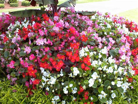 are begonias annuals top 28 are begonias annuals begonia braveheart annual flower research at bluegrass lane