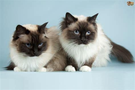 The Uk's Top 10 Most Popular Cat Breeds