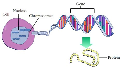 Genetic Diagram Gene Dna by Dna Is Made Up Of Genes Or Genes Are Made Up Of Dna