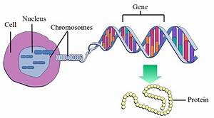 Dna Is Made Up Of Genes Or Genes Are Made Up Of Dna