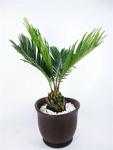 sago palm height live sago palm bonsai tree free shipping nice gift by 9greenbox