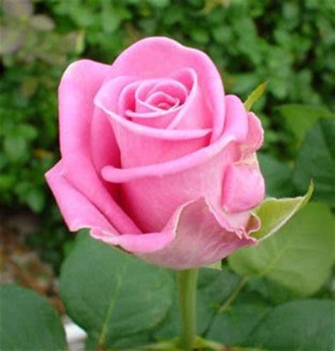 fiore della bellezza rosa aqua