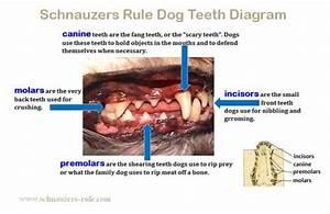 Dog Teeth Diagram  U0026 Mouth Problems