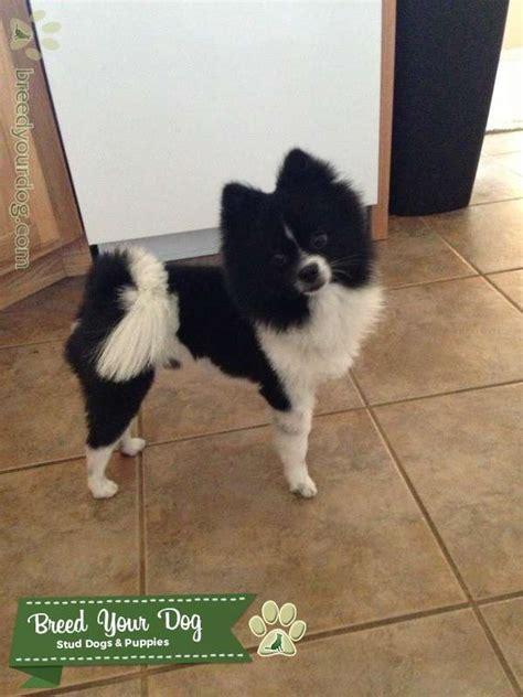 stud dog black  white pomeranian breed  dog