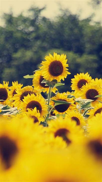 Iphone Flower Sunflower Wallpapers Flowers Yellow Quotes