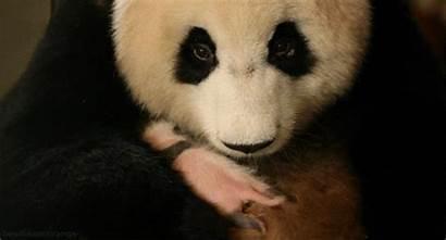 Panda Giant Bear Bbc Pandas Giphy Gifs