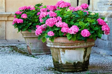 can hydrangeas be grown in pots image gallery hydrangeas in containers