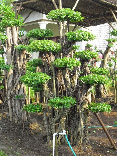 jual bonsai beringin korea bonsai cemara udang bonsai