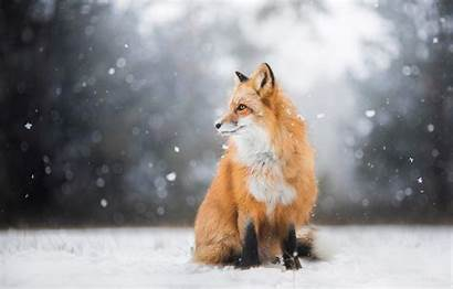Fox Winter Snow Wallpapers Forest Sitting Pose