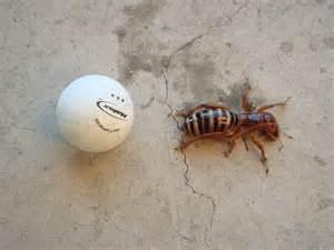 Bug Potato Jerusalem Cricket