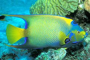 All About Animal Wildlife Queen Angelfish Information And