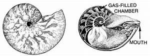 Nautilus Diagram  Animals  Aquatic  Shell And Shellfish