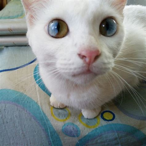 cat eyes heterochromia different cats colors colored whole inside universe multi david bowie unusual cute eyeballs most incredibly reincarnated probably