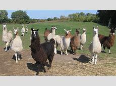 Youth Group Outing Carlsons Llovable Llamas at Carlson's