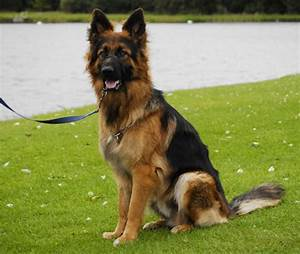 More German Shepherd Puppies and Dogs that have found new ...