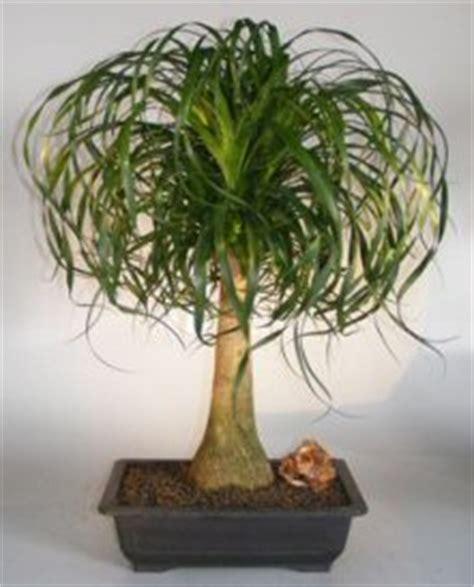ponytail palm bonsai treebeaucamea recurvata