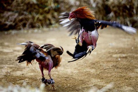 Toko Obat Sabung Ayam Bali Ayam Bangkok Ayam Petarung