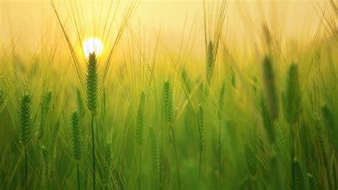 hd green barley field desktop wallpaper