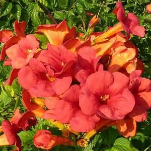 Plantes Et Jardin : bignone 39 mme galen 39 plantes et jardins ~ Melissatoandfro.com Idées de Décoration