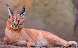 caracal cats caracal wallpapers and images wallpapers pictures photos
