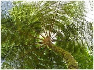 Guadeloupe  Foug U00e8re Arborescente