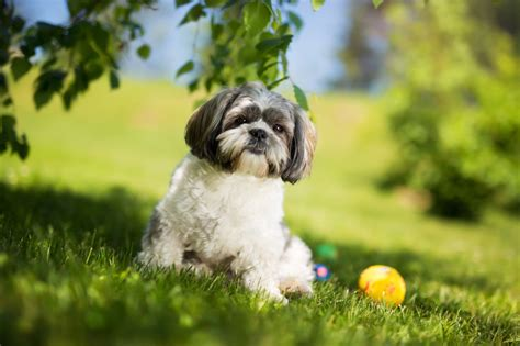 breed shedding most popular hypoallergenic non shedding breeds