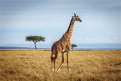 Giraffe Wallpapers Giraffes African Wallpaperxyz Llama Desktop