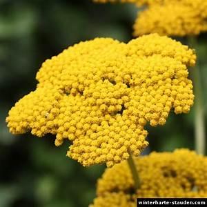 Gelbe Winterharte Pflanzen : goldgarbe achillea filipendulina ~ Markanthonyermac.com Haus und Dekorationen