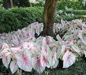 Caladium Knollen Kaufen : caladium white queen g rten pflanzen und schattengarten ~ Lizthompson.info Haus und Dekorationen